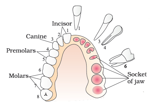 teeth structure mewing